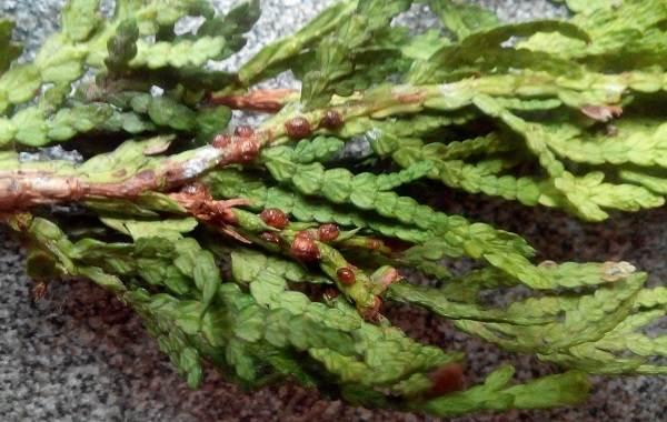 Кипарисовик-растение-Описание-и-особенности-виды-и-сорта-выращивание-и-уход-за-кипарисовиком-44