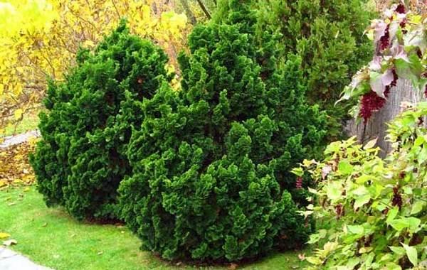 Кипарисовик-растение-Описание-и-особенности-виды-и-сорта-выращивание-и-уход-за-кипарисовиком-7