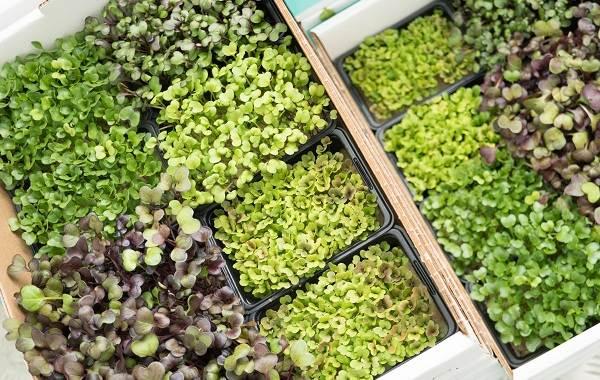 Что-такое-микрозелень-Описание-особенности-выращивание-и-полезные-свойства-15