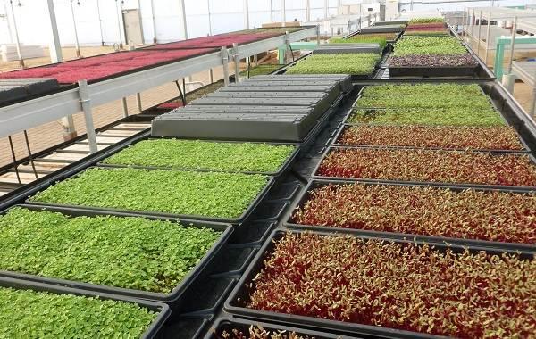 Что-такое-микрозелень-Описание-особенности-выращивание-и-полезные-свойства-16