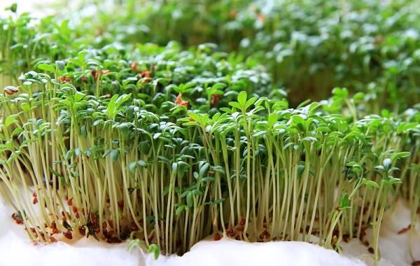 Что-такое-микрозелень-Описание-особенности-выращивание-и-полезные-свойства-6