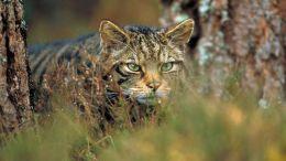Gato Montés de Escocia