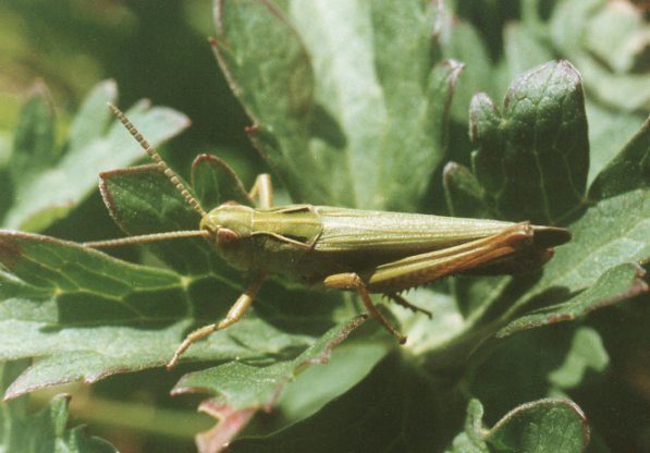 Order of Orthoptera