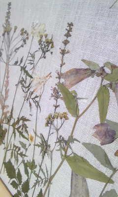 山野草 押し花3.jpg