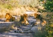 Una famiglia di leoni sbarra la strada in una delle riserve ai confini del Parco Nazionale Etosha (foto di Andrea Mazzella)