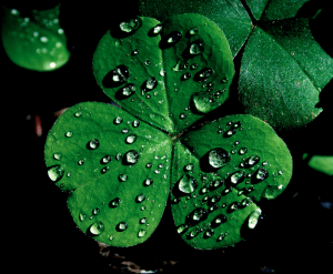 Most of the three-leaved things in my yard are wood sorrel. You can eat it , you know.