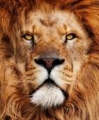 L'actuel Roi Lion - Leo XXXVII
