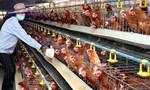 Giá gà công nghiệp xuống thấp kỷ lục