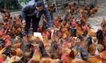 Gà thả vườn chiếm ưu thế cạnh tranh so với gà ngoại nhập