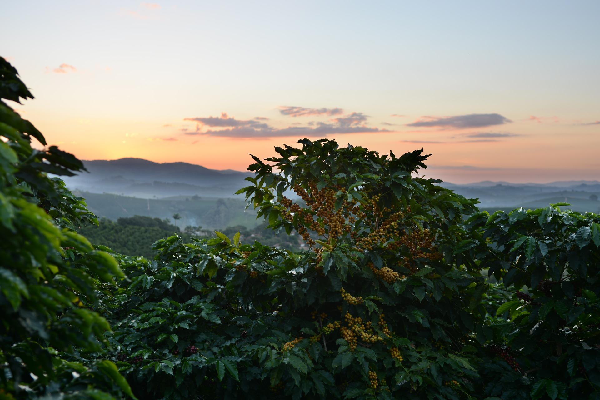 Coffee plantations in Hawaii