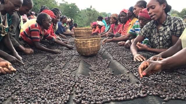 Kenyan people sorting the coffee beans