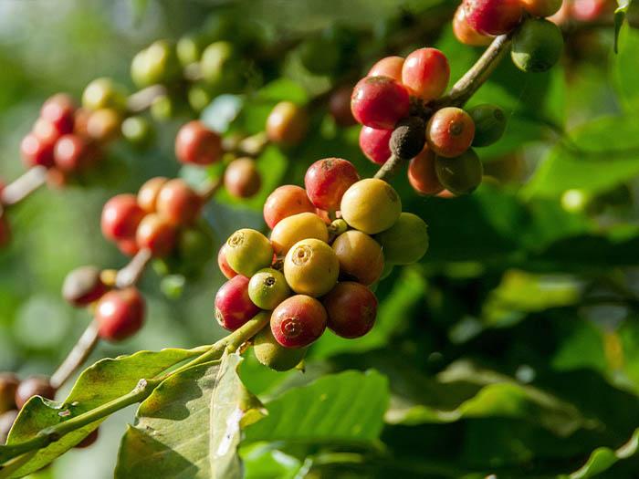 cafe kreyol coffee farmer zambia