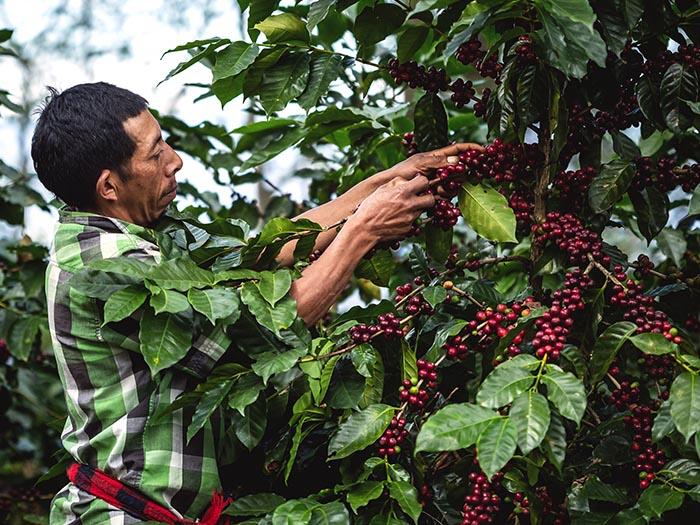 cafe kreyol organic coffee farmers 18 rabbit honduras 05