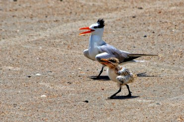 Royal tern and chick