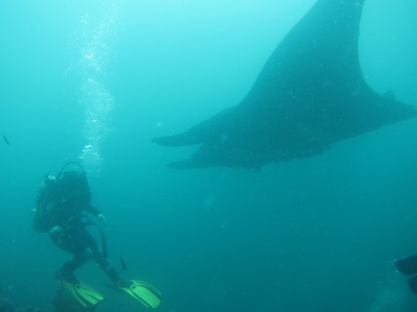 Diving with giant manta rays