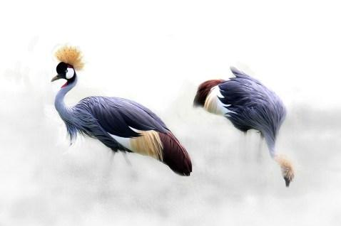 grey-crowned-crane-610463_960_720