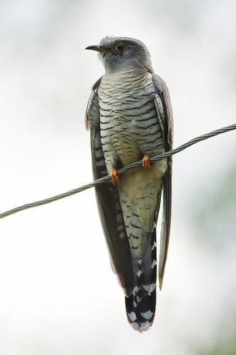 Cuckoo by Tatiana Bulyonkova