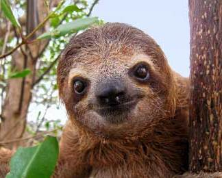 Cafe Typica sloth