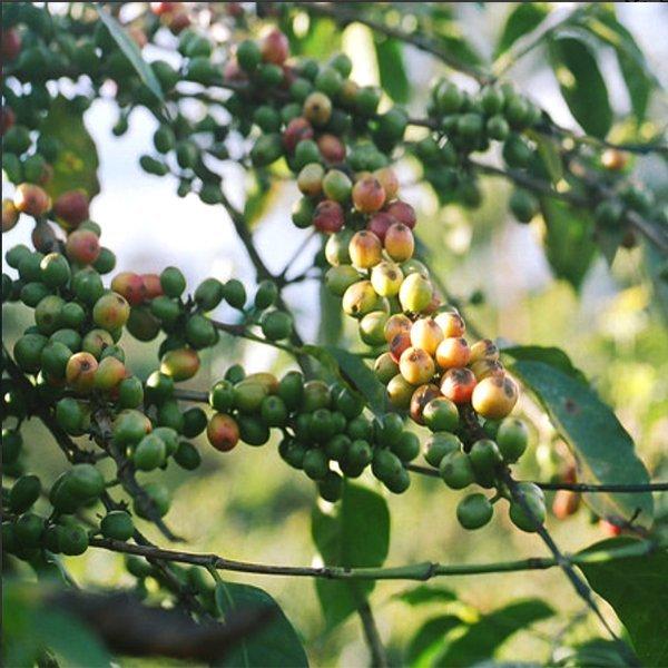 FATHER'S使用的肯亞咖啡豆