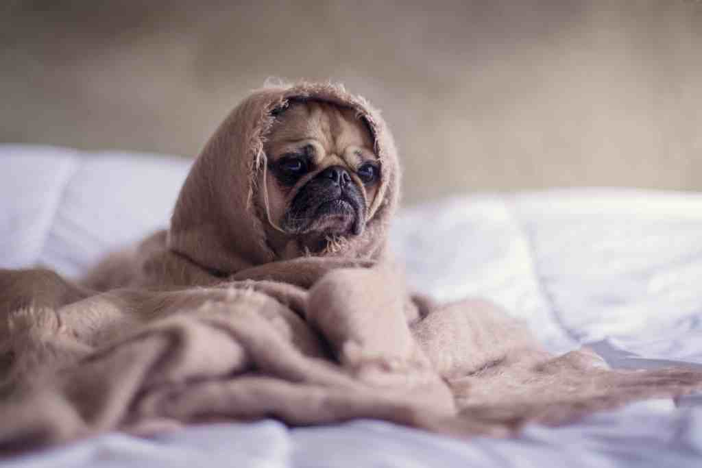 Photograph of a pug wrapped in a blanket looking miserable.