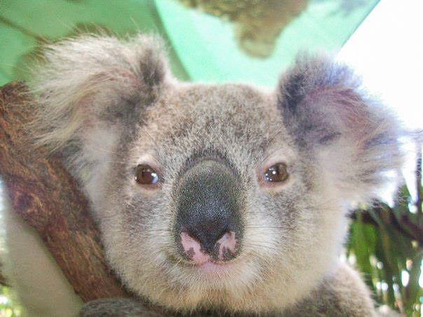 Get up close and personal with koalas, kangaroos, and more at Currumbin Zoo