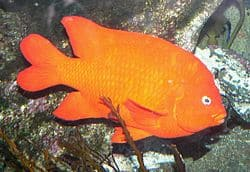 Garibaldi (courtesy of Wikipedia)