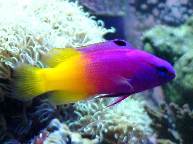 Fish of the Week: Royal Gramma