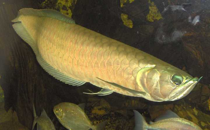 Fish of the Week: Arowana