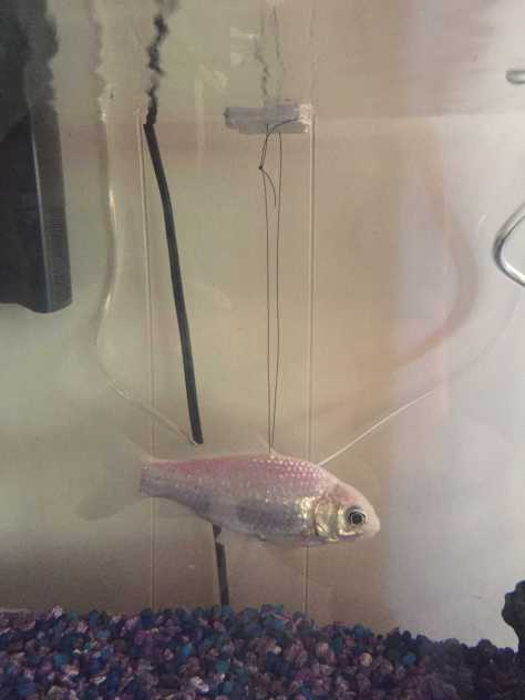 Mr. Fish with his stability float