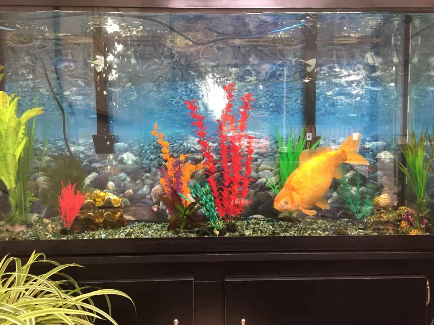 How Many Fish Per Gallon? – Aquatic Veterinary Services