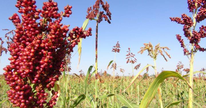 An image of sorghum plants red in color growing in a field, against a blue sky.