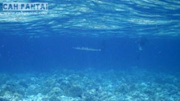 Ada ikan barracuda juga