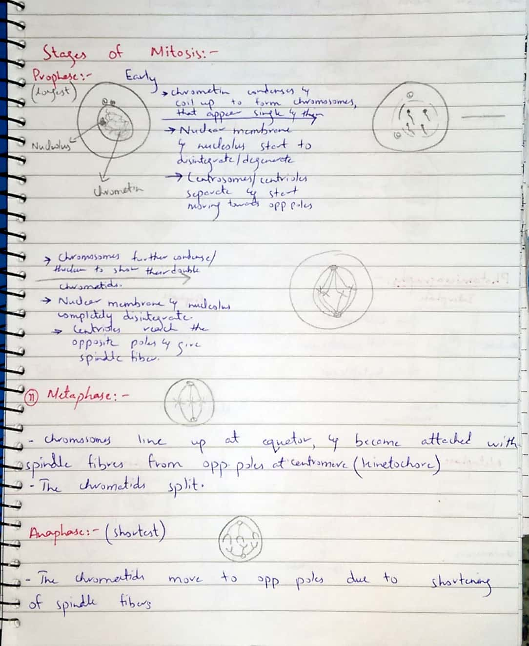 mitotic cycle._5