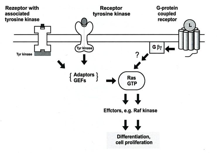 Aktivasi Ras/Raf kinase oleh GPCR dan reseptor tirosin kinase
