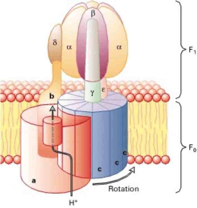 Bagan struktur ATP-sintase