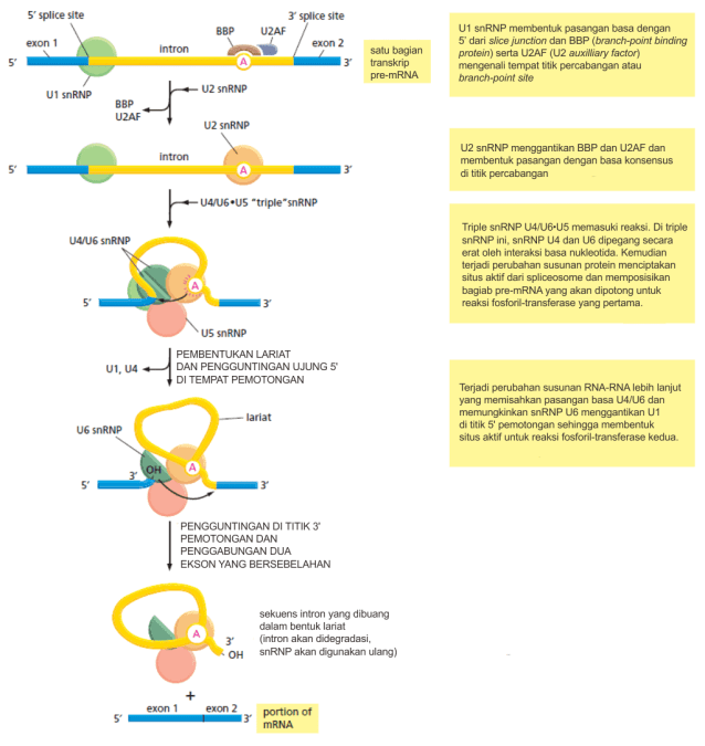 Mekanisme splicing pre-mRNA