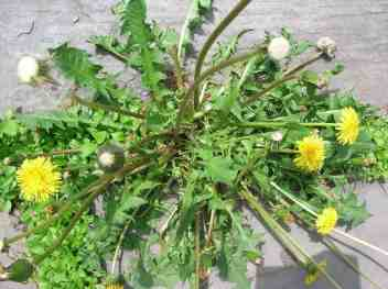 dandelion part of the ancestral scottish diet