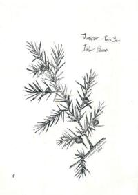 Pen and ink Juniper branch - from my sketch book - used in Saining