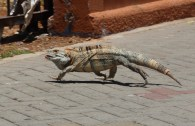 Iguana in the middle of town.