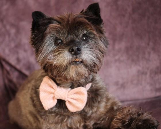 Cairn Terrier wearing a pink Herringbone Tweed Bow Tie