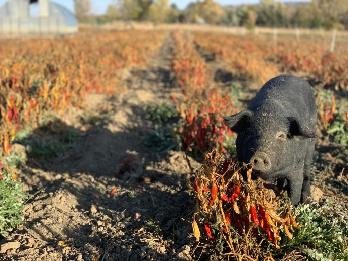 As an organic farm, the peppers never experience toxic chemicals.