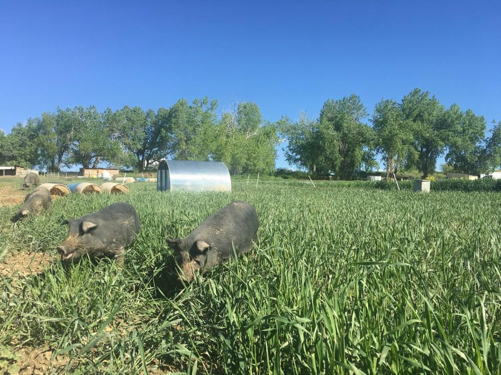 Black Cat Organic Farm pigs in Boulder.