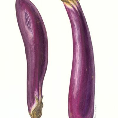 Eggplant / Watercolor