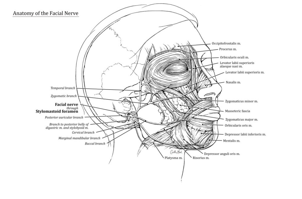 Anatomy of the Facial Nerve / Pen & Ink