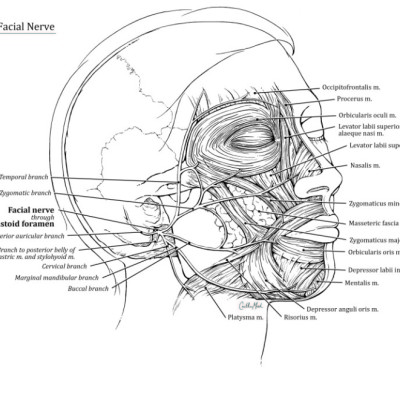 Anatomy Of The Facial Nerve /  Ink