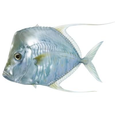 Lookdown Fish / Photoshop