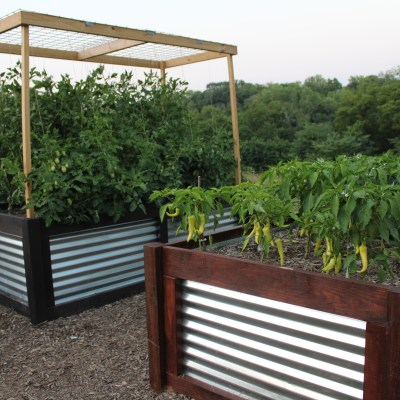 2020 Tomato and Pepper Beds