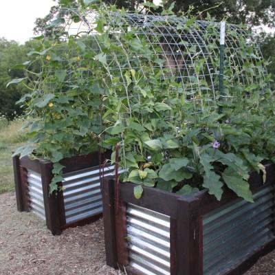 2020 Eggplant, Beans, and Cucumbers