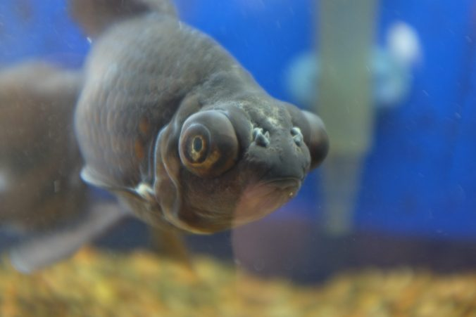 Black Moore Goldfish Telescope Eyes.