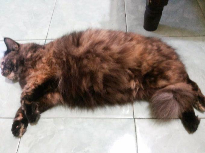 ciri-ciri kucing hamil